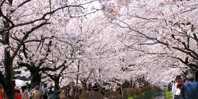 京都・哲学の道の桜
